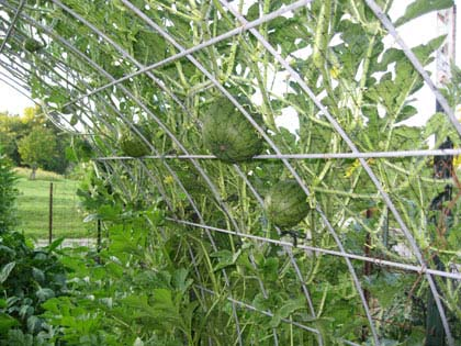 Growing Vining Plants on a Trellis saves space